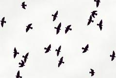 Os pássaros pretos voam no céu Fotografia de Stock Royalty Free