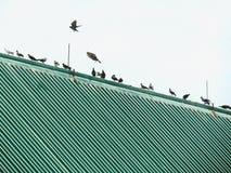 Os pássaros que estão em seguido no telhado, pombos vivem frequentemente junto em um grupo Fotografia de Stock Royalty Free