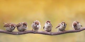 os pássaros que sentam-se em um ramo engraçado abriram seus bicos em antecipação aos pais Foto de Stock Royalty Free