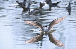 Os pássaros removem ervas daninhas das asas uma decolagem da pena para voar a água um espaço do bico Fotos de Stock