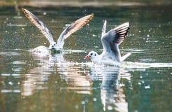 Os pássaros removem ervas daninhas das asas uma decolagem da pena para voar a água um espaço do bico Imagem de Stock