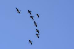 Os pássaros voam altamente Fotografia de Stock