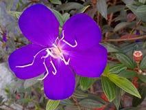 Os pés da aranha florescem com seu botão ou amigo pequeno Foto de Stock Royalty Free