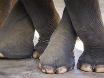 Os pés da cruz do elefante fotos de stock royalty free