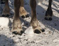 Os pés da rena imagens de stock