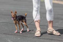 os pés da senhora que vestem sandálias com seu doggy da chihuahua imagens de stock royalty free