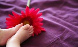 Os pés do bebê aproximam uma margarida cor-de-rosa. Fotos de Stock