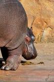 Os pés do gorillahippopotamus imagens de stock