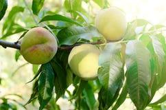 Os pêssegos maduros frutificam em um ramo da árvore no jardim Fotos de Stock