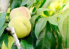 Os pêssegos maduros frutificam em um ramo da árvore no jardim Fotografia de Stock