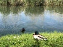 Os p?ssaros no lago Constance em Kreuzlingen ou em dado Voegel oder Vogel s?o Bodensee foto de stock