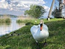 Os p?ssaros no lago Constance em Kreuzlingen ou em dado Voegel oder Vogel s?o Bodensee fotografia de stock