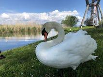Os p?ssaros no lago Constance em Kreuzlingen ou em dado Voegel oder Vogel s?o Bodensee imagens de stock