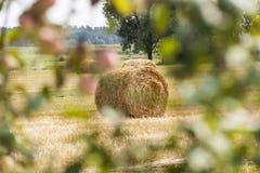 Os pacotes da palha rolaram acima, o restolho da colheita. Foto de Stock Royalty Free