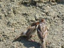 Os pais alimentam seu pintainho Vida selvagem do pássaro imagem de stock