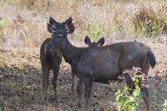 Os pais e as crianças dos cervos estiveram na máscara das árvores Fotografia de Stock Royalty Free
