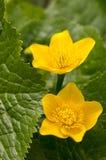 Os palustris do Caltha amarelam a planta enlameada com as flores na flor fotos de stock royalty free