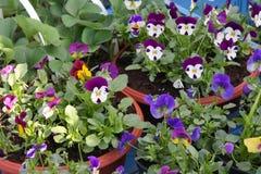 Os pansies em pasta na exposição nos fazendeiros introduzem no mercado em março Imagens de Stock Royalty Free