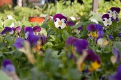Os pansies em pasta na exposição nos fazendeiros introduzem no mercado em março Foto de Stock