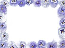 Os pansies roxos bonitos arranjaram em um retângulo, no whit imagem de stock