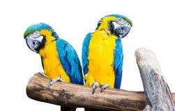 Os papagaios azul-amarelos dos pares sentam-se em um ramo Fotografia de Stock Royalty Free