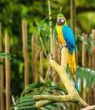 Os papagaios exóticos sentam-se em um ramo Imagem de Stock Royalty Free