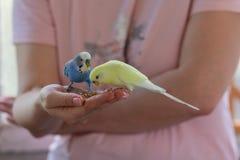 Os papagaios ondulados comem com mãos humanas Fotografia de Stock