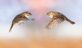 Os pardais engraçados dos pássaros estão voando para se, propagação das asas Foto de Stock Royalty Free