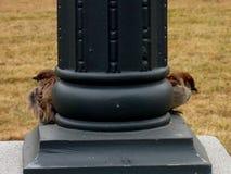 Os pardais estão esperando o alimento Imagem de Stock Royalty Free