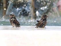 Os pardais molhados Imagem de Stock Royalty Free