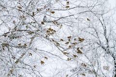 Os pardais na manhã do inverno sentam-se nos ramos com geada Foto de Stock Royalty Free