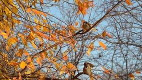 Os pardais saltam em ramos do outono vídeos de arquivo