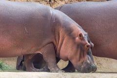 Os pares comuns de um hipopótamo comem ao lado de seu amphibius do hipopótamo do companheiro fotos de stock