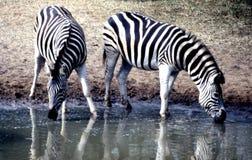 Os pares da zebra das planícies no jogo de Mkhuze reservam o platô do waterhole no Mt Parque nacional da zebra Imagens de Stock Royalty Free