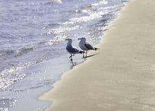 Os pares de anel faturaram as gaivota que andam junto na costa arenosa, azul fotos de stock royalty free