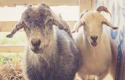 Os pares de cabras têm expressões engraçadas na feira de condado fotos de stock royalty free
