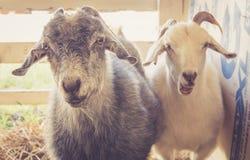 Os pares de cabras têm expressões engraçadas na feira de condado imagem de stock