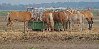 Os pares de cavalos marrons estão comendo de um recipiente de alimento fotos de stock royalty free