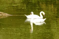 Os pares de cisnes nadam no rio de Mincio, Mantua, Itália Fotos de Stock Royalty Free