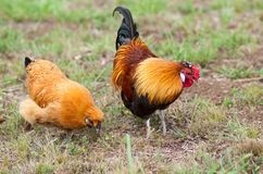 Os pares de duas galinhas pequenas forrageiam para o alimento Imagens de Stock