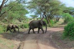 Os pares de elefantes imagem de stock