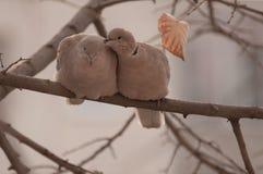 Os pares de eurasian colocaram um colar a pomba (decaocto do Streptopelia) em um ramo Fotos de Stock Royalty Free