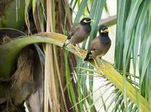 Os pares de myna comum dos pássaros estão sentando-se em um ramo da palmeira Fotografia de Stock Royalty Free