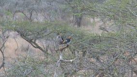 Os pares de passarinhos Vermelho-Dirigir empoleiraram-se em uma árvore vídeos de arquivo