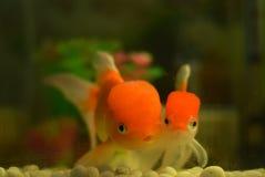 Os pares de peixe dourado Imagem de Stock