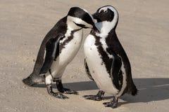 Os pares de pinguins africanos na areia em pedregulhos encalham em Cape Town, África do Sul foto de stock royalty free