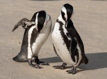 Os pares de pinguins africanos na areia em pedregulhos encalham em Cape Town, África do Sul imagens de stock