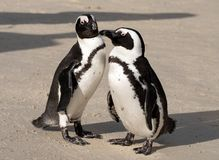 Os pares de pinguins africanos que interagem um com o otro na areia em pedregulhos encalham em Cape Town, África do Sul fotos de stock