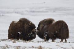 os pares do Almíscar-boi em Norge na nação de Dovrefjell estacionam Fotografia de Stock
