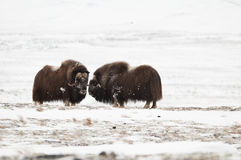 os pares do Almíscar-boi em Norge na nação de Dovrefjell estacionam Fotos de Stock